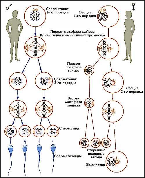 posledovatelnost-sozrevaniya-spermatozoida