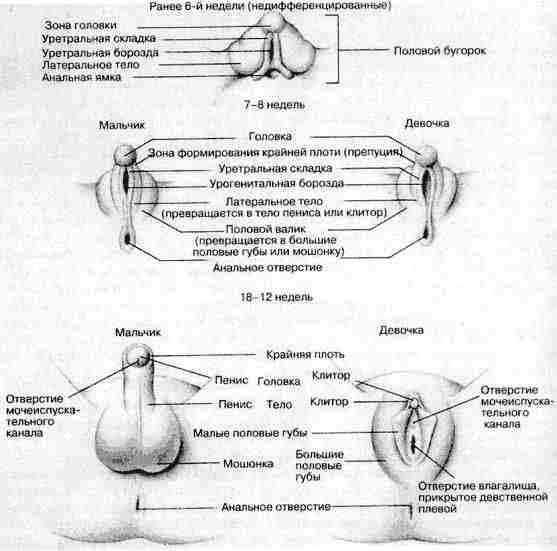 Cтадии эмбрионального развития половых органов
