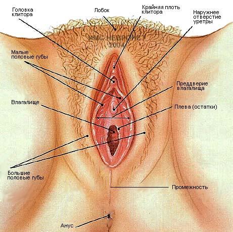 Вульва - наружные половые органы женщины.